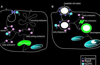 Az extracellulális NM23 szerepe